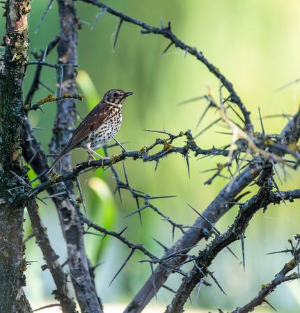 turdus: Mistle thrush (turdus viscivorus) perched on a bush with thorns