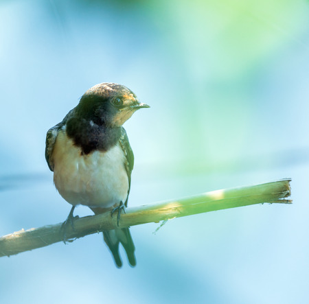 Closeup of a barn swallow perched on a twig