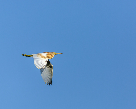 glide: Yellow heron (Ardeola ralloides) in flight over blue sky