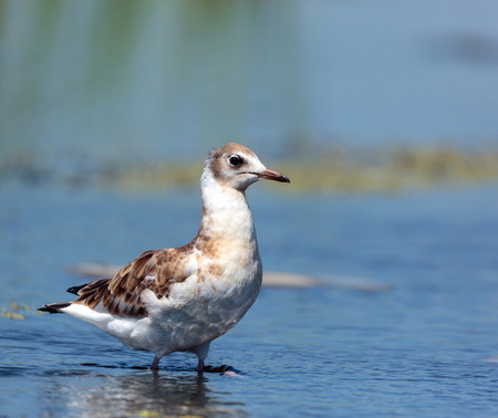 Juvenile seagull on a lake searching for food Stock Photo