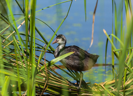 crested duck: Juvenile eurasian coot (Fulica Atra) on water between reeds