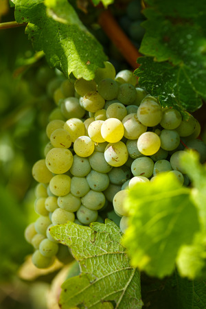 Closeup of ripening chardonnay white grapes on a vine in the vineyard Stock Photo