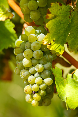 chardonnay: Closeup of ripening chardonnay white grapes on a vine in the vineyard Stock Photo