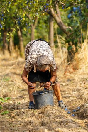 Mujer viejo granjero recogiendo las ciruelas azules en un huerto en tiempo de cosecha Foto de archivo