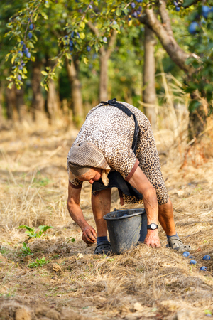 Old farmer woman picking blue plums in an orchard at harvest time