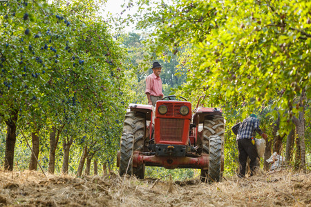 Old farmer with tractor and trailer loading plums at harvest time in an orchard Stock Photo