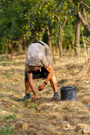 old farmer: Old farmer woman picking blue plums in an orchard at harvest time