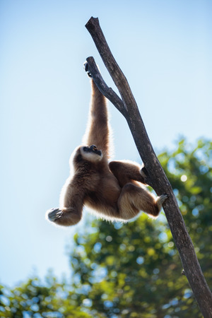 Portrait of a playful funny gibbon monkey Stock Photo