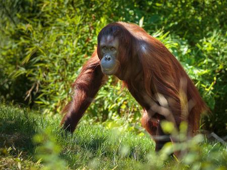 dense forest: Young orangutan walking through the dense forest Stock Photo