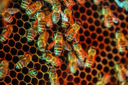 worker bees: Closeup of worker bees crowded on a honey comb