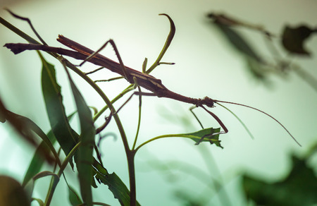 Closeup of a stick insect on a plant
