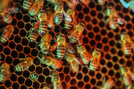 Closeup of worker bees crowded on a honey comb