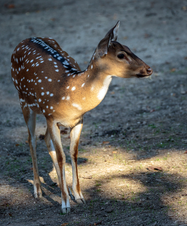 Beautiful chital deer (Axis axis) full body shot