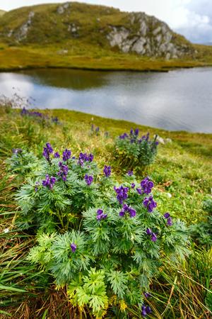 Mountain flowers by the lake Capra in Romanian Carpathians Stock Photo