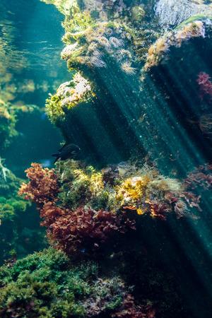 ecosystem: bajo el agua con el ecosistema de los arrecifes Anemonia sulcata y plantas Foto de archivo