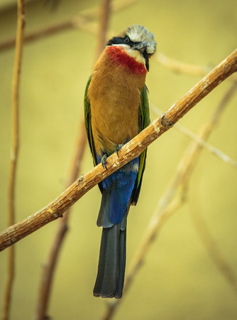 eater: Bee eater (Merops Apiaster) perched on a branch in a tree