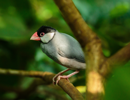 Cute Java sparrow perched on a branch in the jungle