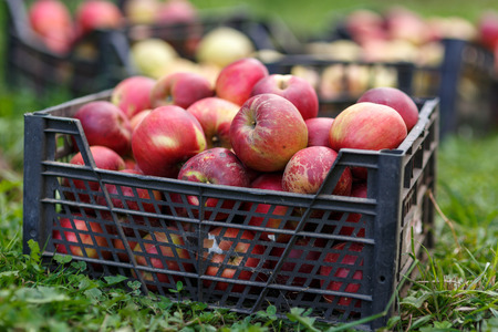 freshly picked: Crates of freshly picked apples in the grass
