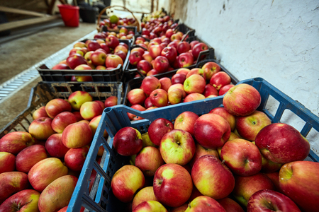 homegrown: Homegrown apples picked in crates, ready for farmers market