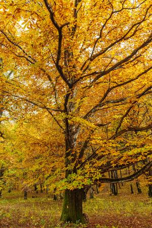Foresta di castagni e altri alberi decidui in autunno
