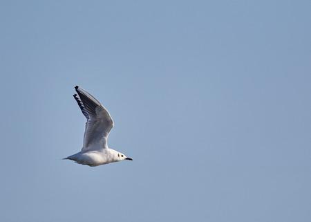 One black headed gull in flight against blue sky Stock Photo