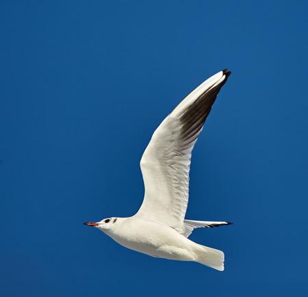 ridibundus: One black headed gull in flight against blue sky Stock Photo
