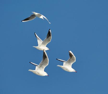 Black headed gulls (larus ridibundus) in flyght against blue sky