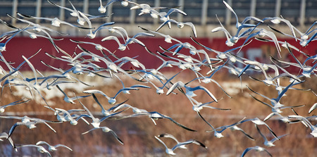 Flock of black headed gulls juvenile and adults in flight in winter Stock Photo