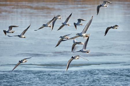 Flock of gulls in flight over a frozen river Stock Photo