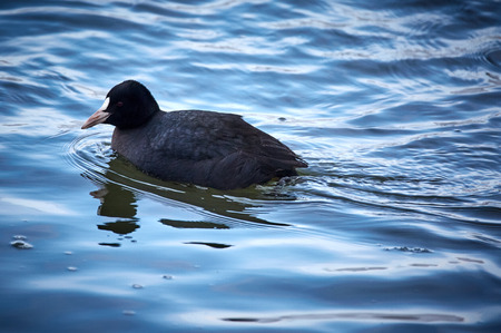 Eurasian coot (fulica atra) swimming on a cold river Stock Photo