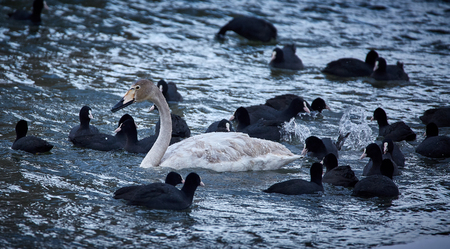 Whopper swan (cygnus cygnus) and eurasian coots (fulica atra) swimming Stock Photo