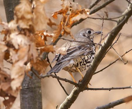 Song thrush (Turdus philomelos) hiding in an oak tree