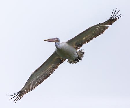 Great white pelican (Pelecanus onocrotalus) in flight