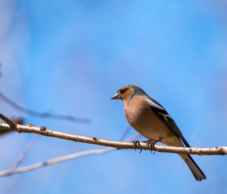 Common chaffinch (Fringilla coelebs) perched on a branch in the tree Stock Photo