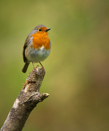 redbreast: European robin (Erithacus rubecula) perched on a branch Stock Photo