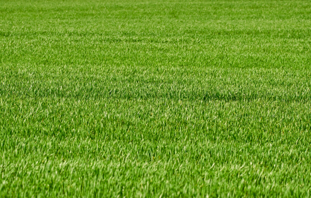 Young wheat grass in a field in the countryside Stock Photo