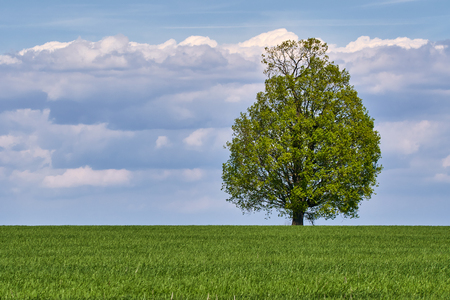 Wheat field with a single big tree