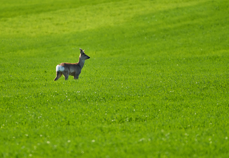 Young roebuck (capreolus capreolus) on a wheat field