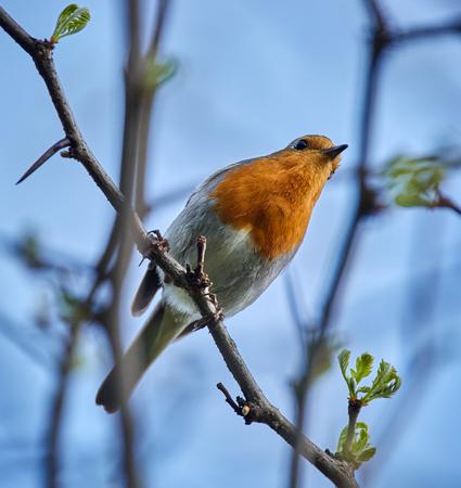 redbreast: European robin (Erithacus rubecula) perched on a twig