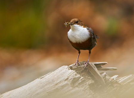 bird song: White throated dipper (cinclus cinclus) gathering food for its chicks Stock Photo