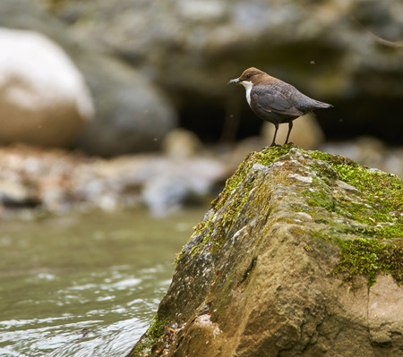 White throated dipper (cinclus cinclus) gathering food for its chicks Stock Photo