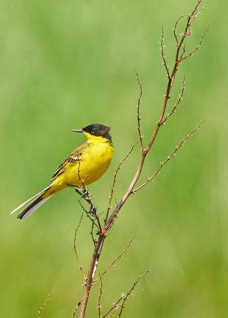 Black headed western yellow wagtail (Motacilla flava feldegg) perched on a twig Stock Photo