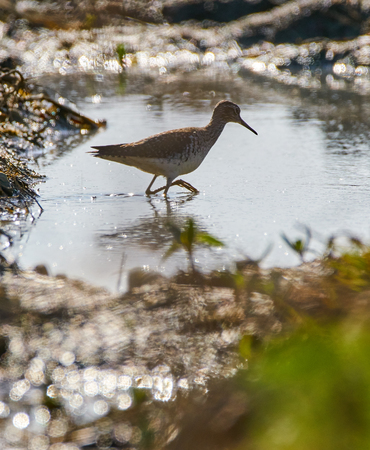 Solitary sandpiper (Tringa solitaria) by the water edge Stock Photo