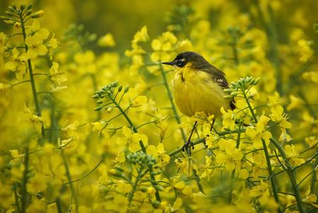 motacilla: Buitrejo amarillo (Motacilla flava) camuflado en flores de violación