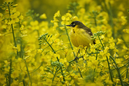 Yellow western wagtail (Motacilla flava) camouflaged in rape flowers Stock Photo