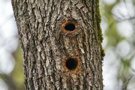 Holes in an oak tree trunk, woodpecker nests