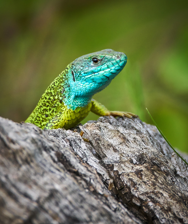 Iberian emerald lizard (Lacerta Schreiberi) on a tree stump in the grass Stock Photo