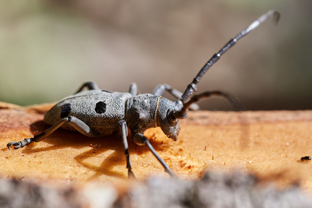 long horn beetle: Long horned beetle (Morimus funereus) on a tree stump Stock Photo