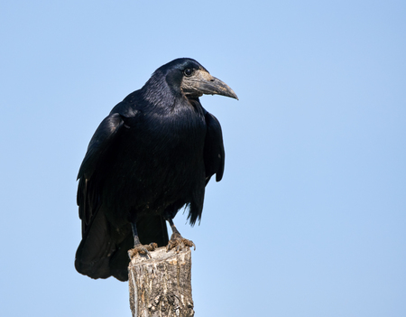 A rook (Corvus frugilegus) perched on a wooden pole