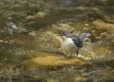 Coussin à gorge blanche (Cinclus cinclus) dans une rivière
